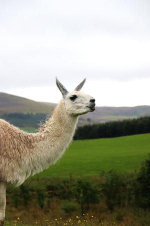 reigns: Llamas
