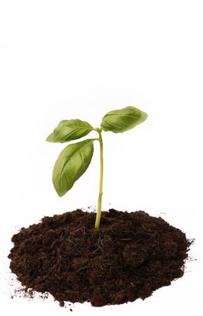 soil: Basil Plant Growing in Soil