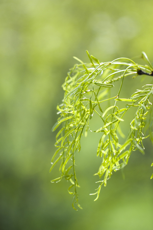 Mesquite Trees from a Macro View Stockfoto
