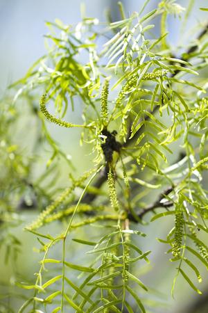 oklahoma: Mesquite Trees from a Macro View Stock Photo