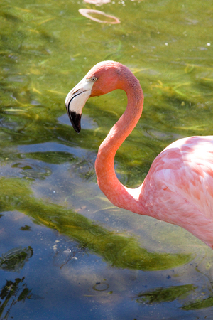 Beautiful Flamingo in Water Stock Photo