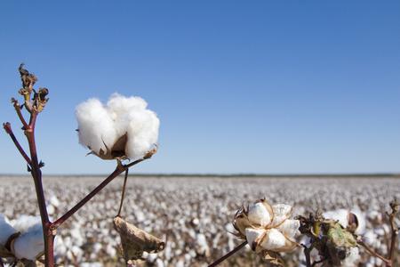 Campo de plantas de algodón maduro