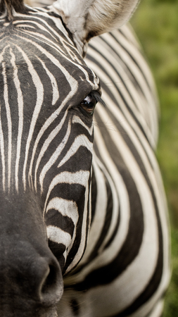 A Close Up View of a Zebras Face