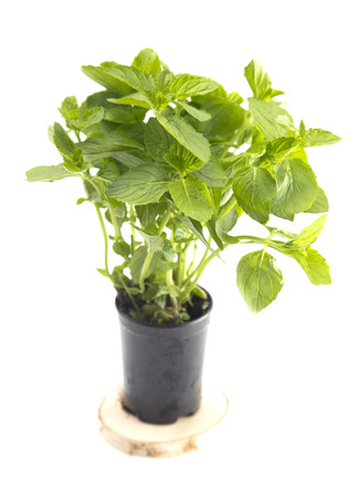 Mint Plant on a White Background Stock Photo
