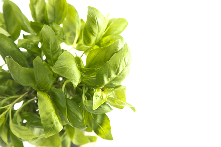 Basil Plant on a White Background