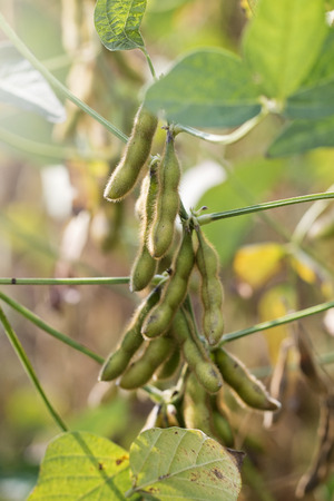 Soybeans Fields Close to Harvest Time