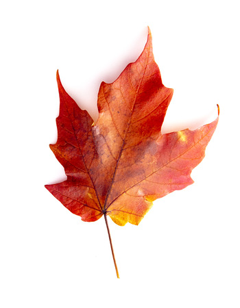 A Read Single Colored Fall Leaf on a White Background