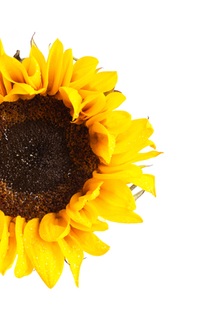 A Brilliantly Yellow Sunflower on a White Background