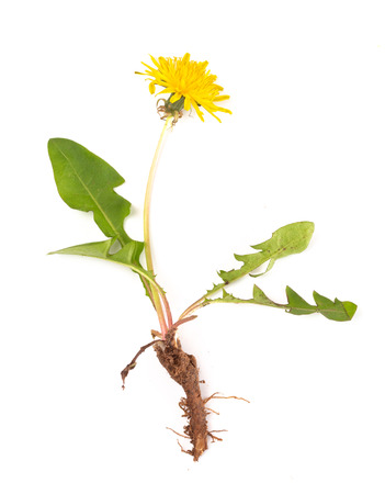 Dandelion Plant isolated on a White Background