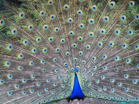 Peacock at the time of spreading feathers photo