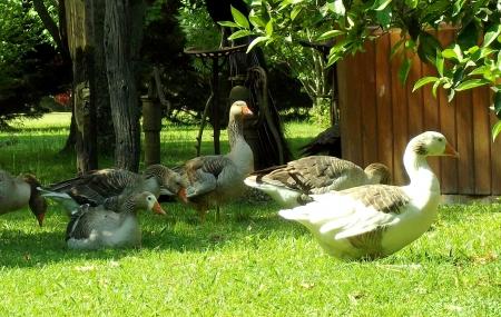 landrace: Grupo de gansos descansando bajo los �rboles Foto de archivo