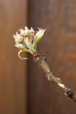 Close up of pear blossom buds