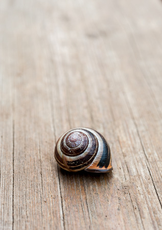 Close up of a common garden snail shell on a wooden background.