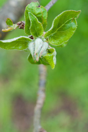 hazel branches: Close up of new hazelnut leaves growing in Spring