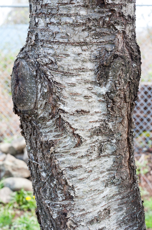 plum tree: Plum tree bark Stock Photo