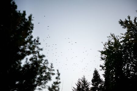 flocking: A flock of birds fly over trees at dusk in the autumn