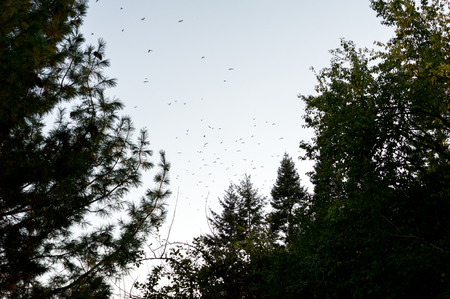 A flock of birds fly over trees at dusk in the autumn