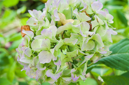 Detail of hydrangea flowers fading in autumn Stock Photo