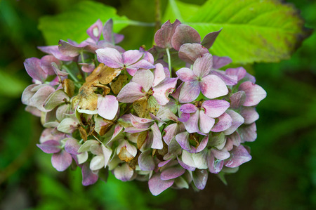 fading: Detail of hydrangea flowers fading in autumn Stock Photo