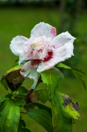 sharon: Rose of Sharon hibiscus flower Stock Photo