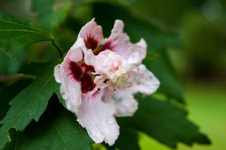 Rose of Sharon hibiscus flower Imagens