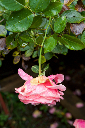 drooping: Single pink rose in garden with green foliage drooping downwards and wet with raindrops