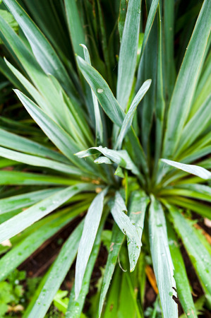 Close up of a yucca plant