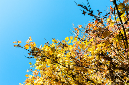 Autumn or fall leaves on a tree changing colour to yellow orange red gold with a sunny blue sky in the background Stock Photo
