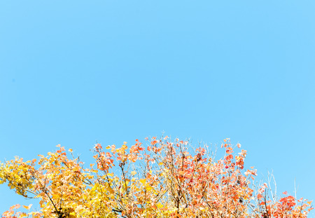 autumn colour: Autumn or fall leaves on a tree changing colour to yellow orange red gold with a sunny blue sky in the background Stock Photo