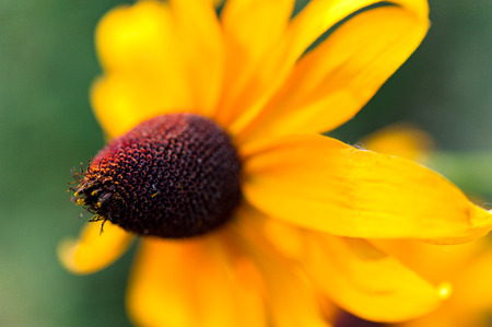 Close up of pollen on black eyed Susan flower head