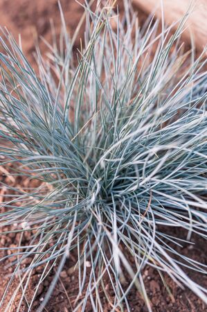 Single elijah blue fescue grass plant