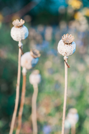 Poppy seed heads drying on plant in garden Stock Photo