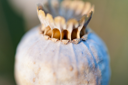 Close up of poppy seed head drying on plant