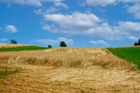 A wheat field was destroyed during a thunderstorm. Stock Photo