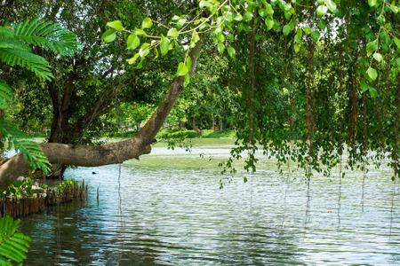 bunchy: Ficus benjamina Linn is bunchy on the water Stock Photo
