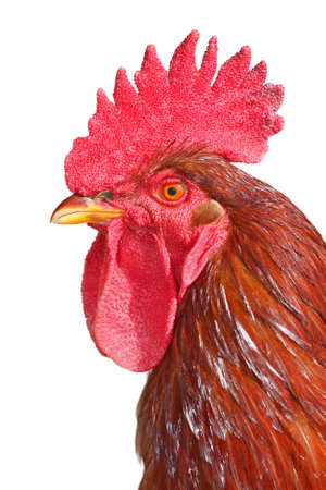 isolated rooster portrait Stock Photo