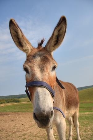 donkey: Donkey head