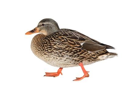 mallard duck: Female Mallard Duck Stock Photo