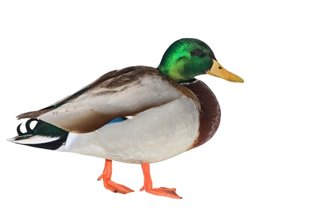 Colourful mallard duck isolated on white