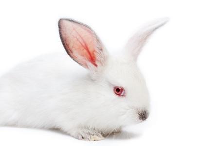 Cute white isolated baby rabbit