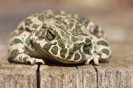 Common toad (Bufo bufo) or European toad Stock Photo