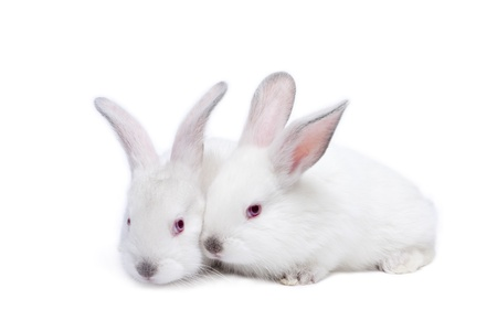 Two cute white isolated baby rabbits Stock Photo