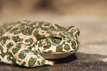 Common toad (Bufo bufo) or European toad 版權商用圖片