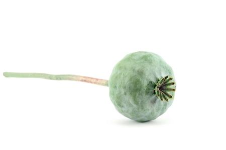 Head of opium poppy