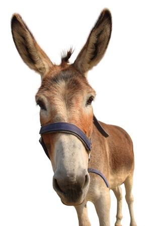 donkey: Donkey hoofd geïsoleerd op wit