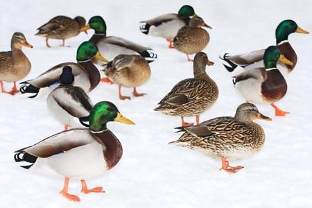 Group of Mallard ducks on a snow