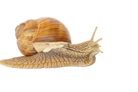 Snail isolated on white background photo