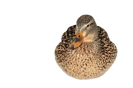 Female Mallard Duck isolated on white photo