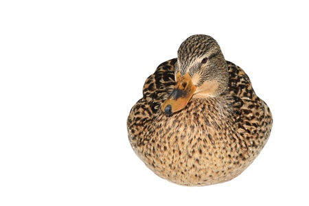bird web footed: Female Mallard Duck isolated on white
