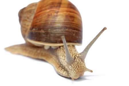 Snail isolated on white background Stock Photo